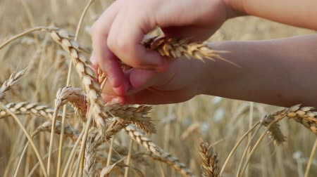 granger : Ears of Golden Wheat on Farm Field. Growth nature harvest or natural product concept. Harvesting time
