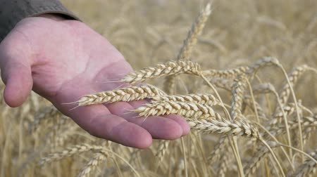 granger : Farmer Hands Check for Ripeness Ears of Wheat. Ears of wheat grow in farm field. Crop or harvest time concept