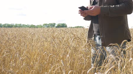 granger : Farmer with Smartphone Check for Ripeness Ears of Golden Wheat on Field. Harvesting time