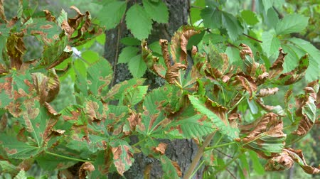 pereira : Brown Disease on Tree Leaf. Dark spots on foliage, unhealthy leaves spot