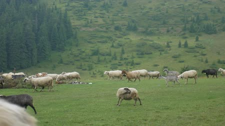 gyapjas : Flock of sheep in meadow on green grass at summer landscape background Stock mozgókép