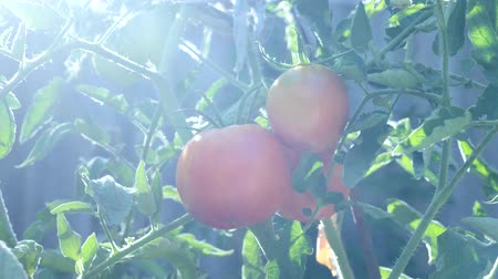 nezralý : Fresh red ripe tomatoes in bright rays of sun grown on vine in garden. Tomato production or vegetable garden plantation, organic farming non gmo concept