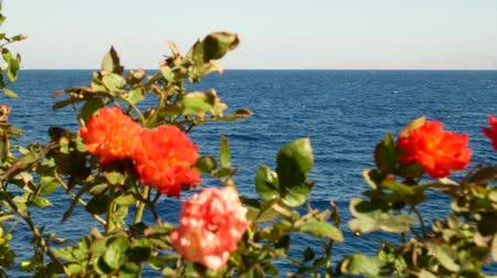 花序 : Red flowers with green leaves on a background of blue water of the sea and sky. Restaurant or cafe concept on the shore. Wind blows on seashore 動画素材
