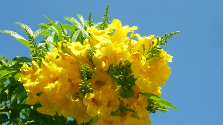 Флорес : Blooming yellow flowers on green trees on blue sky background