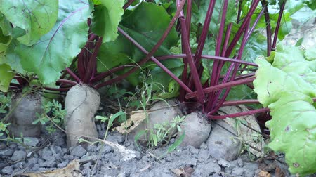 burak : Growing beetroot with beautiful green leaves on vegetable bed in home garden. Harvest time