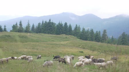 přežvýkavec : Black and white sheeps in meadow on green grass at summer landscape. Mountains and coniferous forest background. Quadrupedal mammal on graze land
