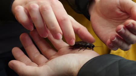 omnivore : Pass giant cockroach from hand to hand. Unusual pet large Insect