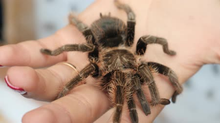 уродливый : Giant spider on hand. Unusual pet large Insect