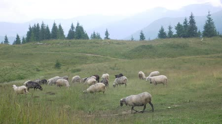 sheepfold : Herd of sheep in mountains at landscape background. Quadrupedal mammal on graze land meadow