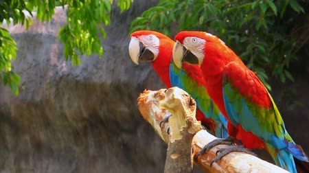 arara : Green-winged Macaw on tree branches within the exhibit. Vídeos