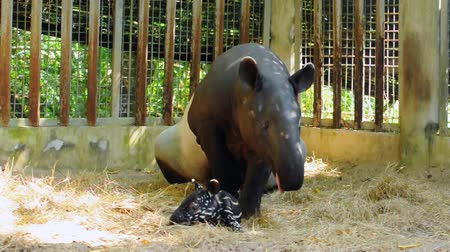 indicus : Juvenile tapir, still with a point, well taken care of its mother.
