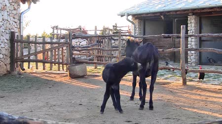 flâmula : Two baby donkeys on the farm outdoor Stock Footage