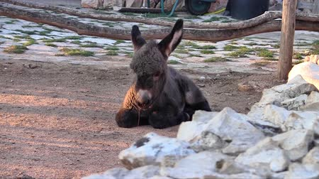 flâmula : Young donkey lying on the ground at farm