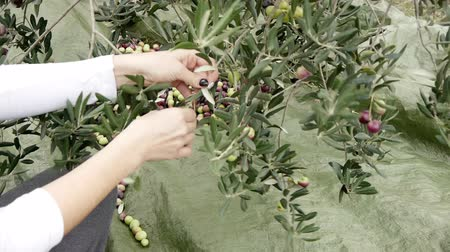 zeytinyağı : Woman picking olives from tree Stok Video
