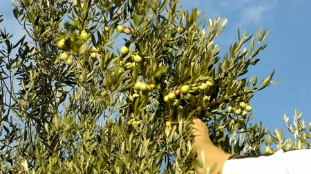 ramo : Harvesting olives on plantation motion view