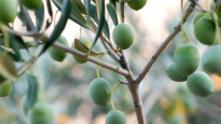 olivový olej : Green olive fruits hanging on the olive tree close up
