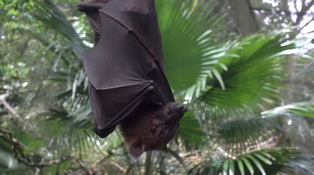 wrapped up : Large Malayan flying fox close-up in slow motion
