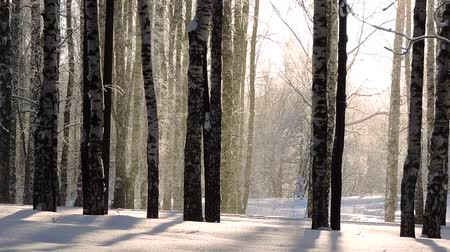 морозный : Snowfall in winter in the forest, soft snowy christmas morning with falling snow Стоковые видеозаписи