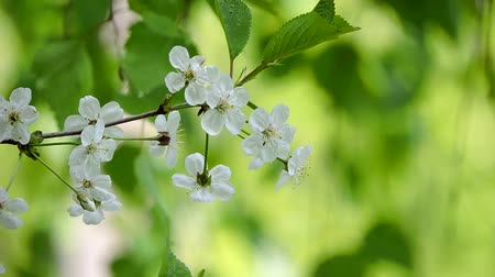 větev : Cherry branch with white flowers swinging in the wind on a beautiful background