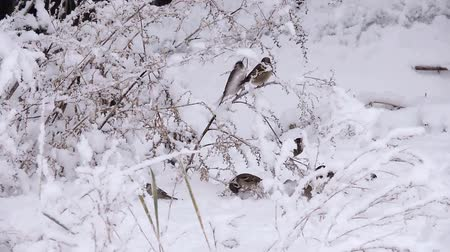 Birds, sparrows jump from branch to branch during a snowfall