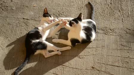lying cat : Cute Black And White Cats Playing Outdoor in a Sunny day