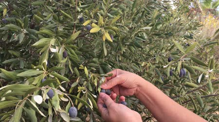 maréknyi : A female harvesting black olives manually  from a tree in a farm.