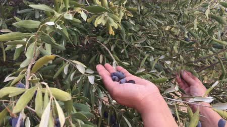 favori : A female harvesting black olives manually  from a tree in a farm.