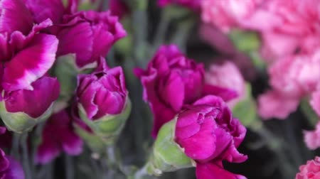 bouquets : Pink Flowers closeup Stock Footage