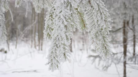 osika : Snowy spruce branch swaying in the wind