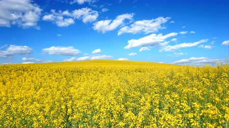 yellow flowers : The clouds are floating on the ladder with their fields. TimeLapse