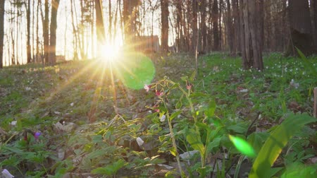 bitkiler : Forest flowers at dawn. Spring in the forest. Sun rays.