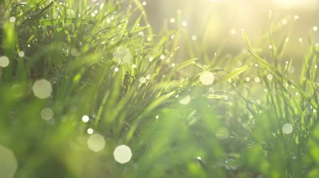 harmatcsepp : Drops of water on the grass. Morning dew. Blurred Background Stock mozgókép