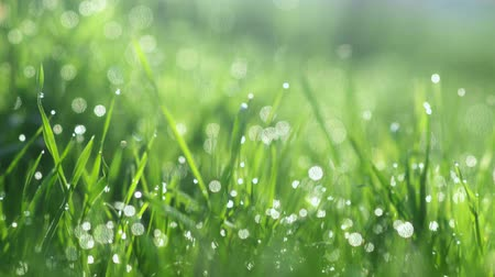 이슬 방울 : Drops of water on the grass. Morning dew. Blurred Background 무비클립