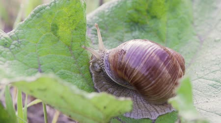 caracol : Grape snail in nature. close-up