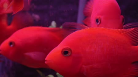 Red fish in the aquarium