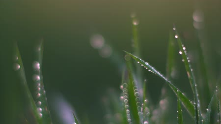 yeşillik : Dew on the grass. Macro. Stok Video