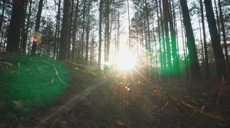havlama : The sun through the trees in the forest at sunset Stok Video