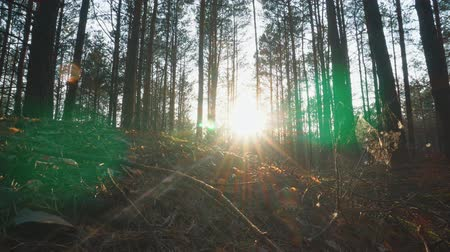 кора : The sun through the trees in the forest at sunset Стоковые видеозаписи