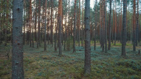 musgo : Walk in the woods at sunset.