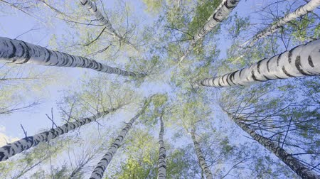 birch tree : Birch Tops in the Spring Forest