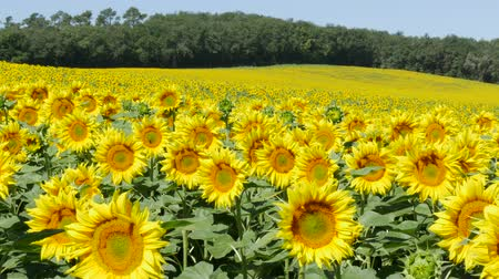 graine tournesol : Sunflower (champs)