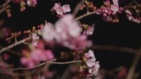 kiraz : Sakura cherry blossoms of lights up at night Focus back to front Stok Video