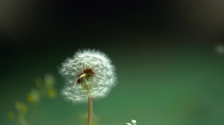 pelyhes : Slowmotion video Dandelion fluff blown by the wind