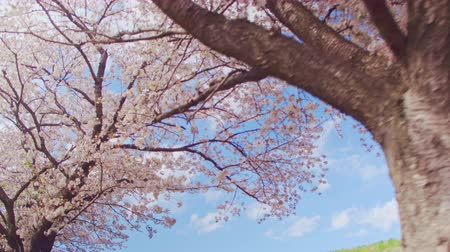 kiraz : Cherry blossoms and blue sky Stok Video
