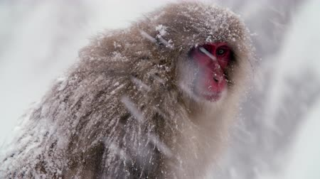 monkey : SnowMonkey Monkey living in nature in the snowy Stock Footage