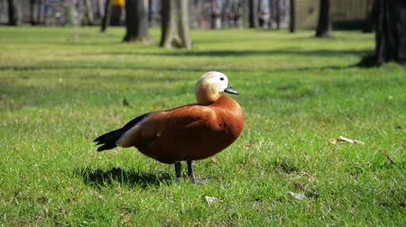 animais : Brown duck on gras Animals  Brown duck running on gras Animals