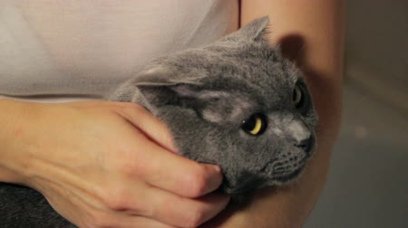perzsa : British gray cat in the arms of a woman combing her  hair