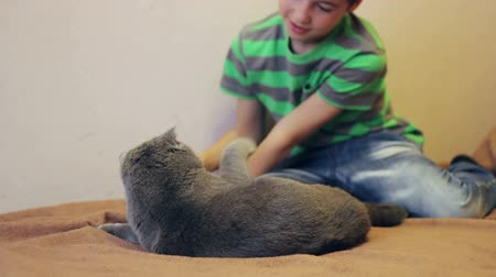 british cat : boy playing with a gray British cat