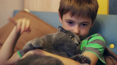 brit : Boy stroking and caressing a large gray cat British breed Stock mozgókép