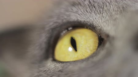 prowl : British cat eye closeup, brown Stock Footage